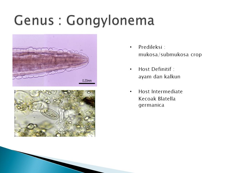 Genus : Gongylonema Predileksi : mukosa/submukosa crop