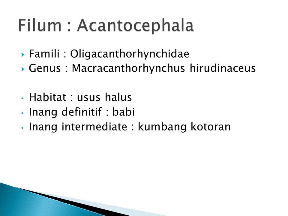Filum : Acantocephala Famili : Oligacanthorhynchidae