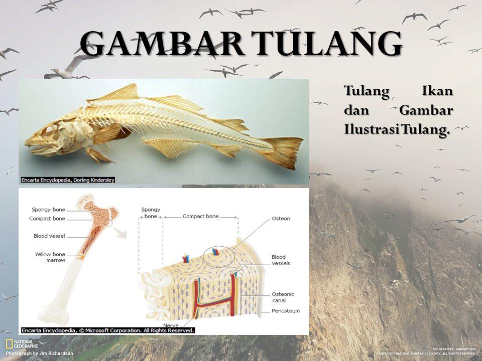 GAMBAR TULANG Tulang Ikan dan Gambar Ilustrasi Tulang.