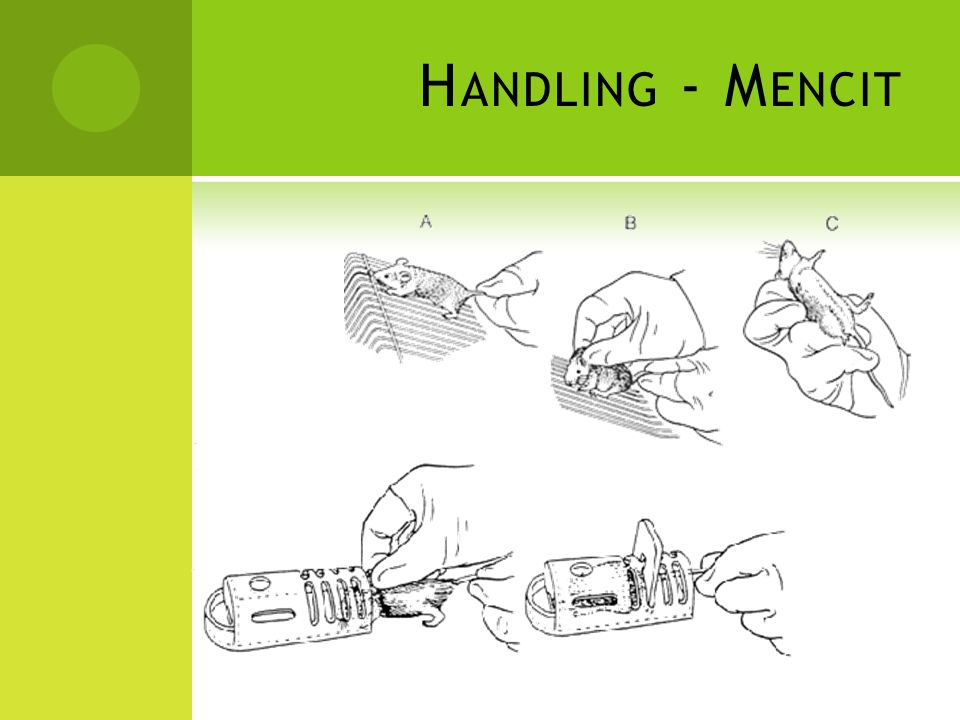 Handling - Mencit