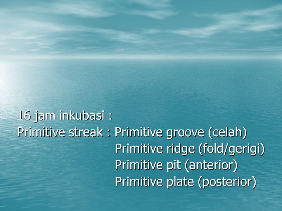 16 jam inkubasi : Primitive streak : Primitive groove (celah) Primitive ridge (fold/gerigi) Primitive pit (anterior)