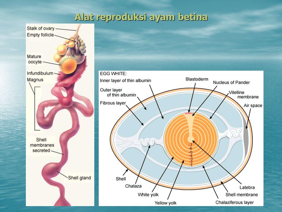 Alat reproduksi ayam betina