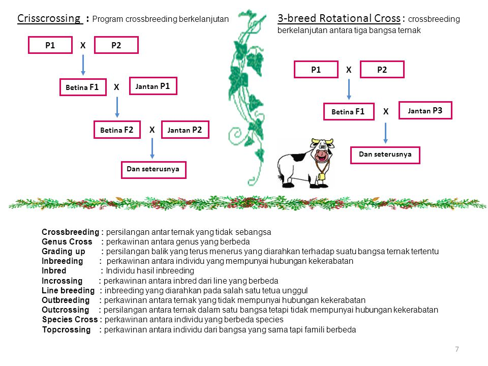Crisscrossing : Program crossbreeding berkelanjutan