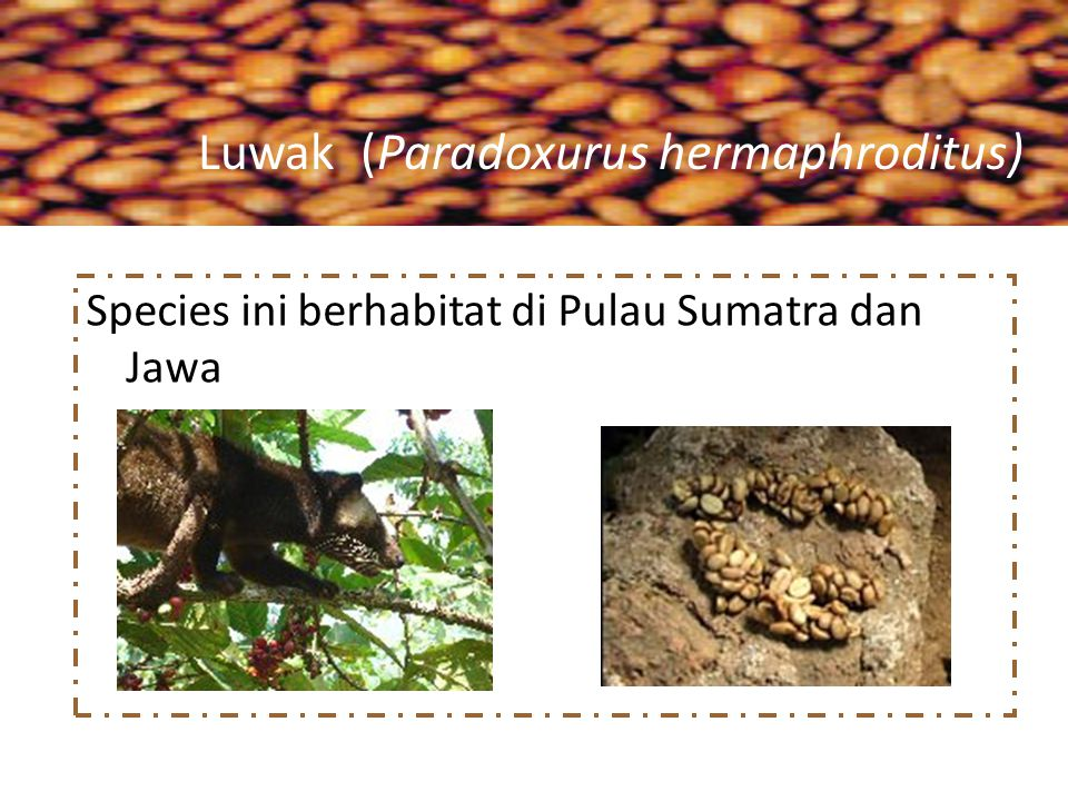 Luwak (Paradoxurus hermaphroditus)