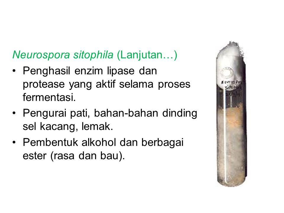 Neurospora sitophila (Lanjutan…)