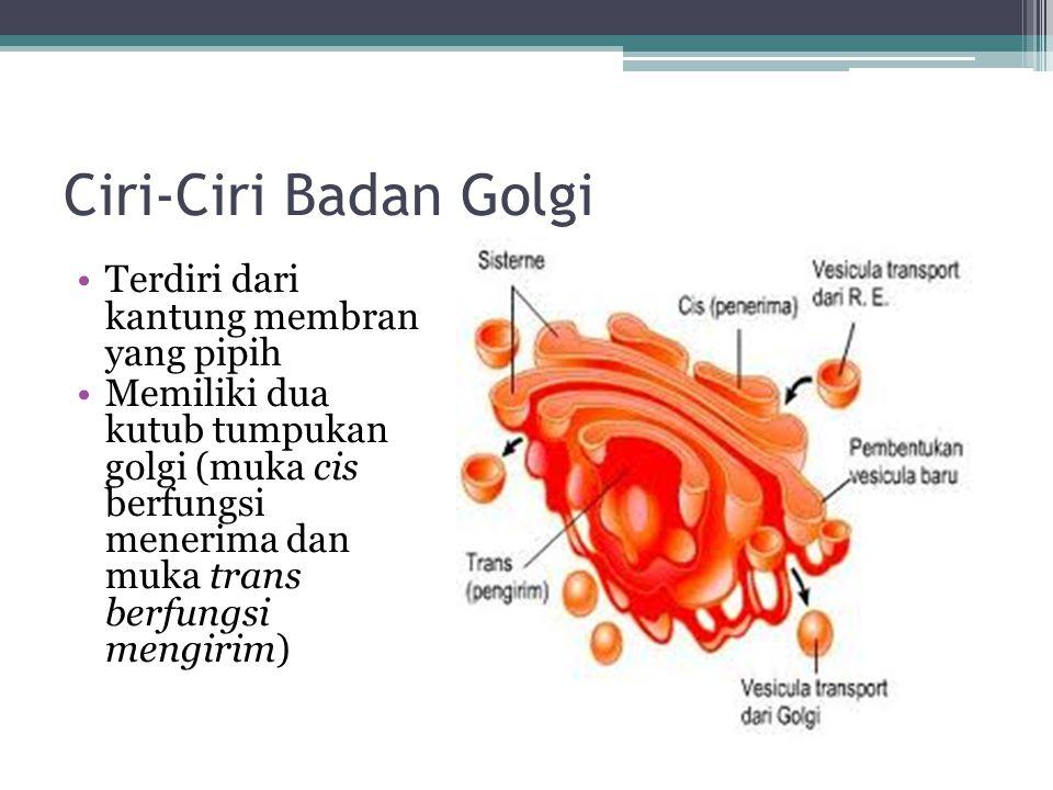 Ciri-Ciri Badan Golgi Terdiri dari kantung membran yang pipih