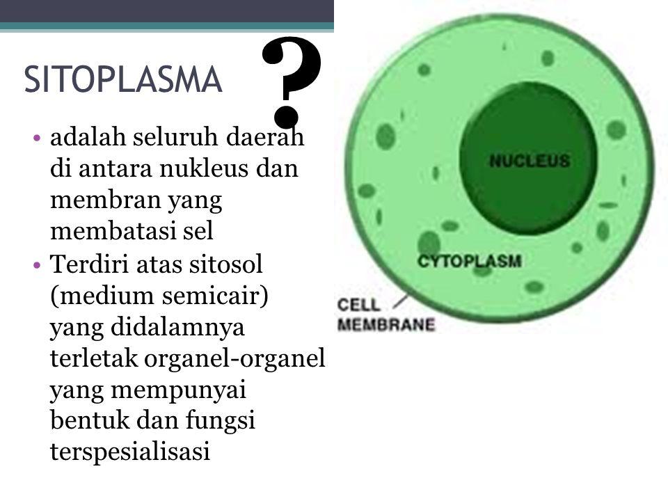 SITOPLASMA. adalah seluruh daerah di antara nukleus dan membran yang membatasi sel.