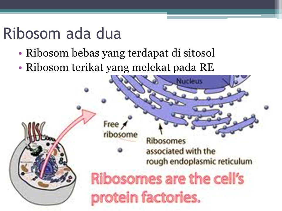Ribosom ada dua Ribosom bebas yang terdapat di sitosol
