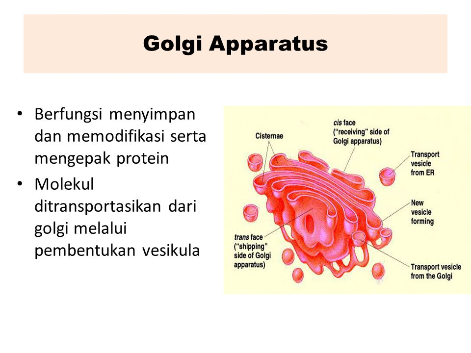 Golgi Apparatus Berfungsi menyimpan dan memodifikasi serta mengepak protein.
