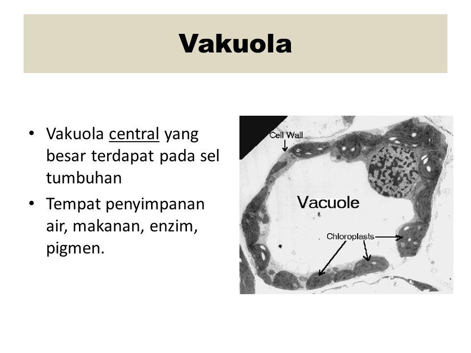 Vakuola Vakuola central yang besar terdapat pada sel tumbuhan