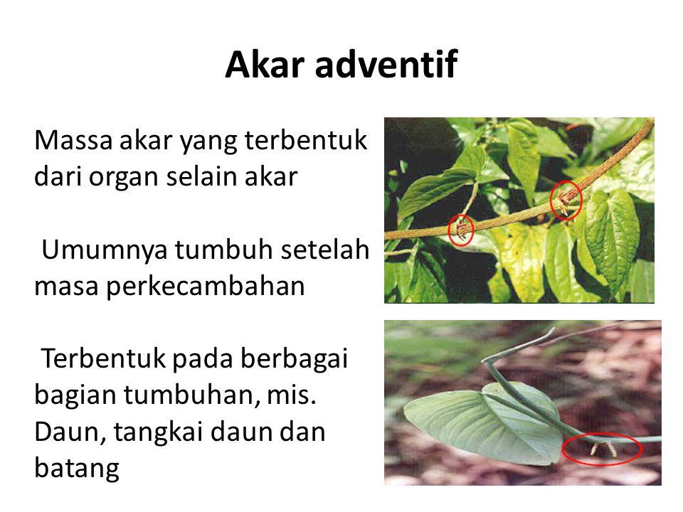 Akar adventif Massa akar yang terbentuk dari organ selain akar