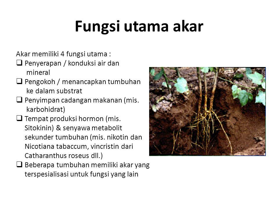 Fungsi utama akar Akar memiliki 4 fungsi utama :
