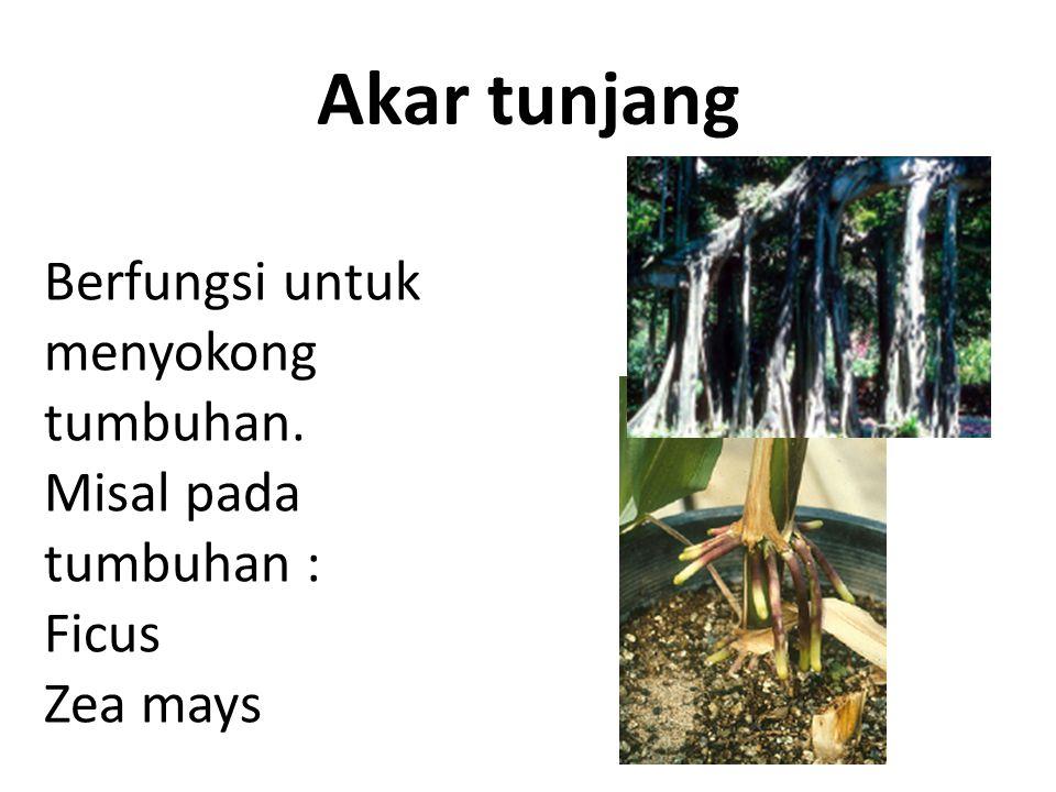 Akar tunjang Berfungsi untuk menyokong tumbuhan. Misal pada tumbuhan :