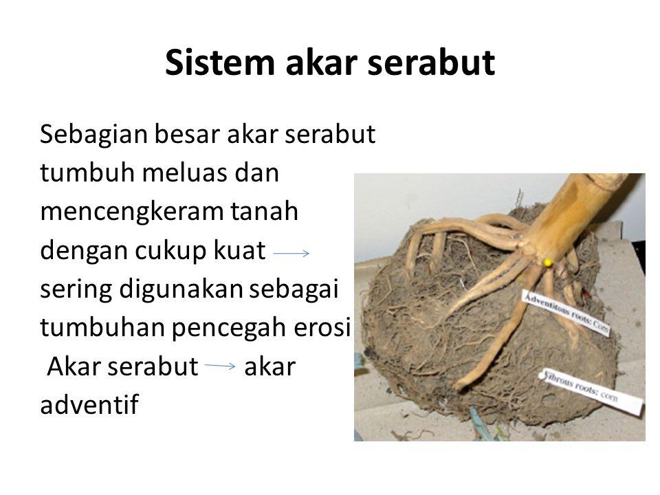 Sistem akar serabut