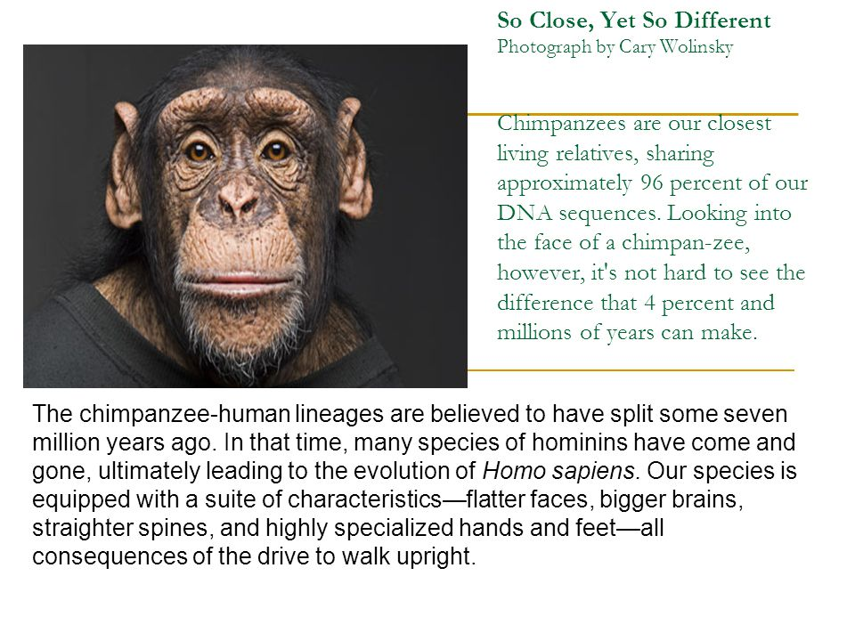 So Close, Yet So Different Photograph by Cary Wolinsky Chimpanzees are our closest living relatives, sharing approximately 96 percent of our DNA sequences. Looking into the face of a chimpan-zee, however, it s not hard to see the difference that 4 percent and millions of years can make.