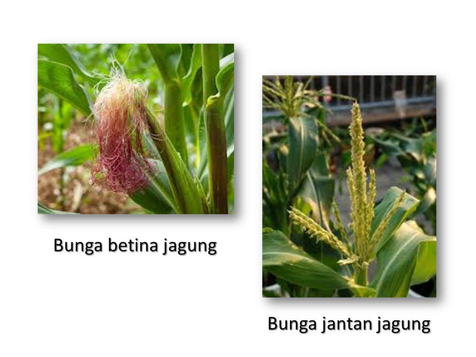 Bunga betina jagung Bunga jantan jagung
