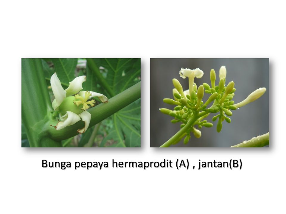 Bunga pepaya hermaprodit (A) , jantan(B)