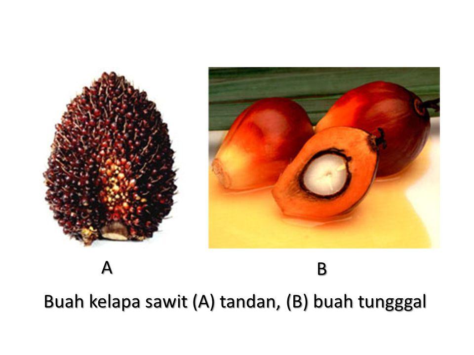 Buah kelapa sawit (A) tandan, (B) buah tungggal
