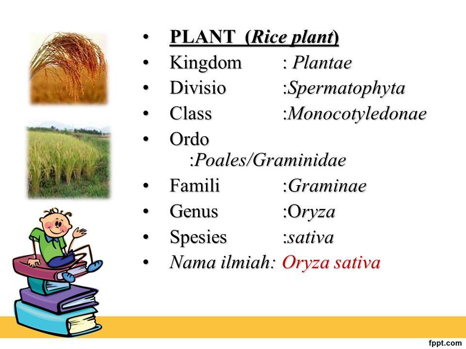 PLANT (Rice plant) Kingdom : Plantae. Divisio :Spermatophyta. Class :Monocotyledonae. Ordo :Poales/Graminidae.