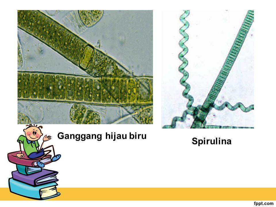 Ganggang hijau biru Spirulina