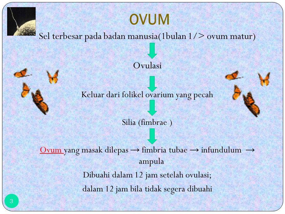 OVUM Sel terbesar pada badan manusia(1bulan 1/> ovum matur) Ovulasi