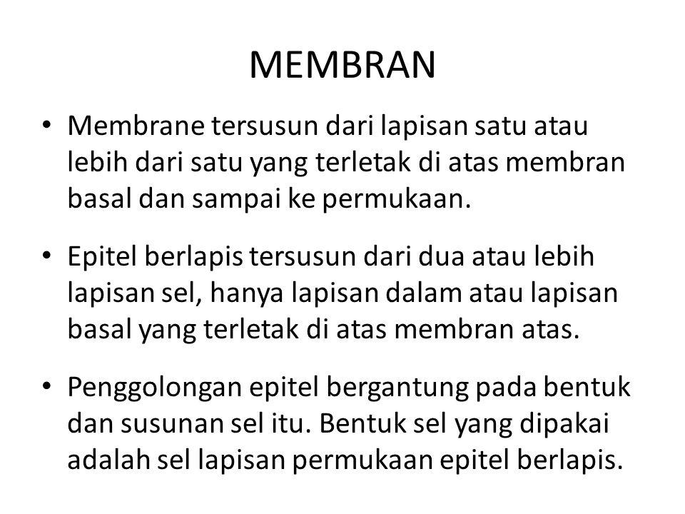 MEMBRAN Membrane tersusun dari lapisan satu atau lebih dari satu yang terletak di atas membran basal dan sampai ke permukaan.