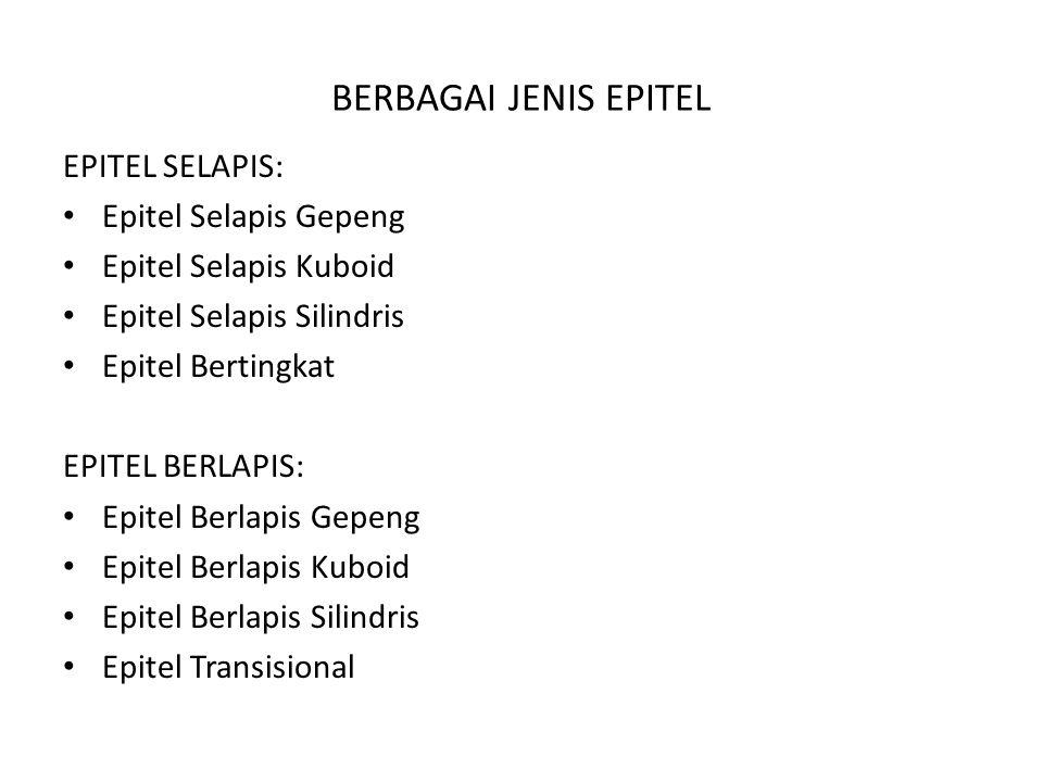 BERBAGAI JENIS EPITEL EPITEL SELAPIS: Epitel Selapis Gepeng