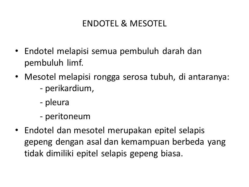 ENDOTEL & MESOTEL Endotel melapisi semua pembuluh darah dan pembuluh limf. Mesotel melapisi rongga serosa tubuh, di antaranya: - perikardium,