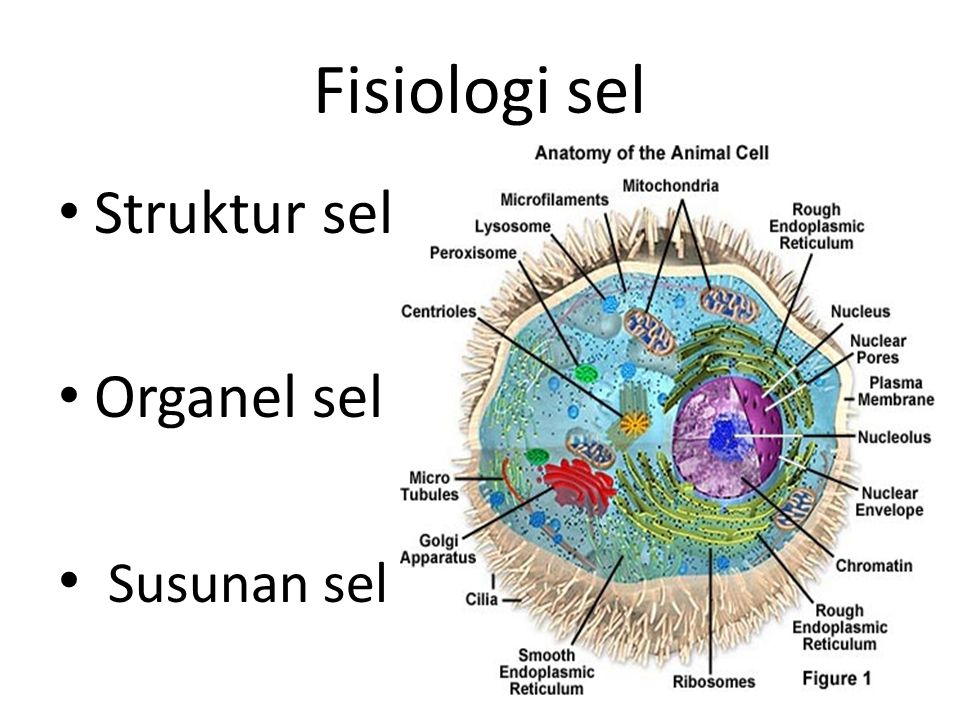 Fisiologi sel Struktur sel Organel sel Susunan sel