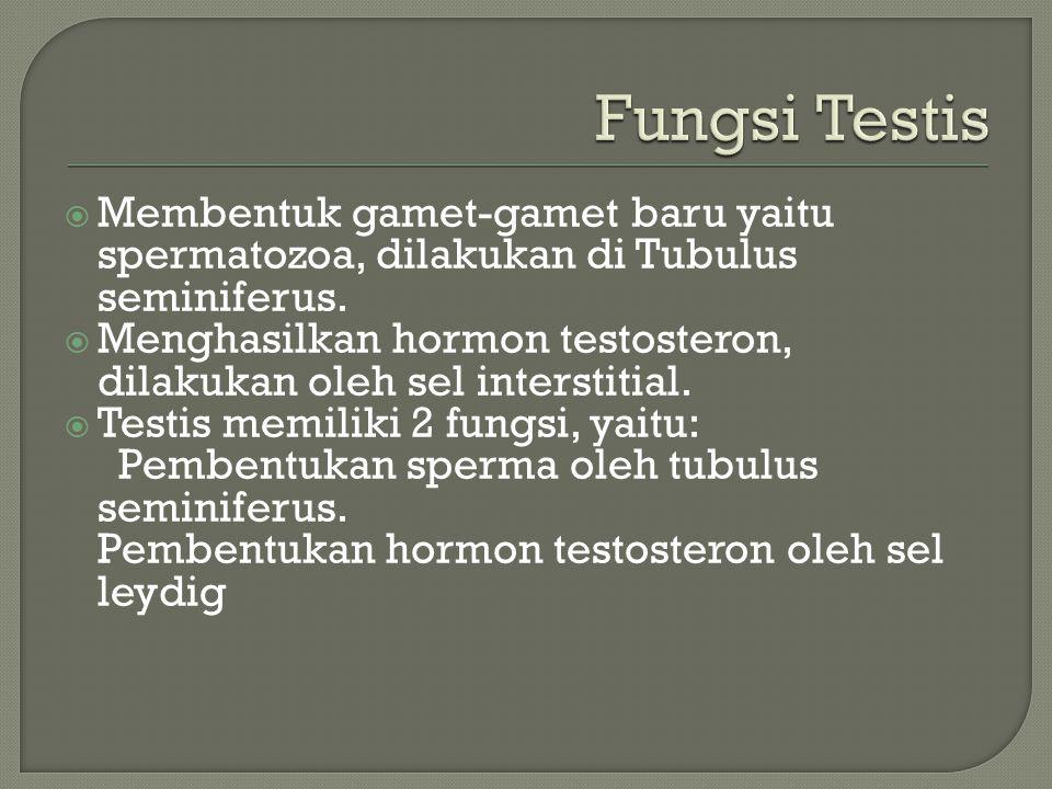 Fungsi Testis Membentuk gamet-gamet baru yaitu spermatozoa, dilakukan di Tubulus seminiferus.