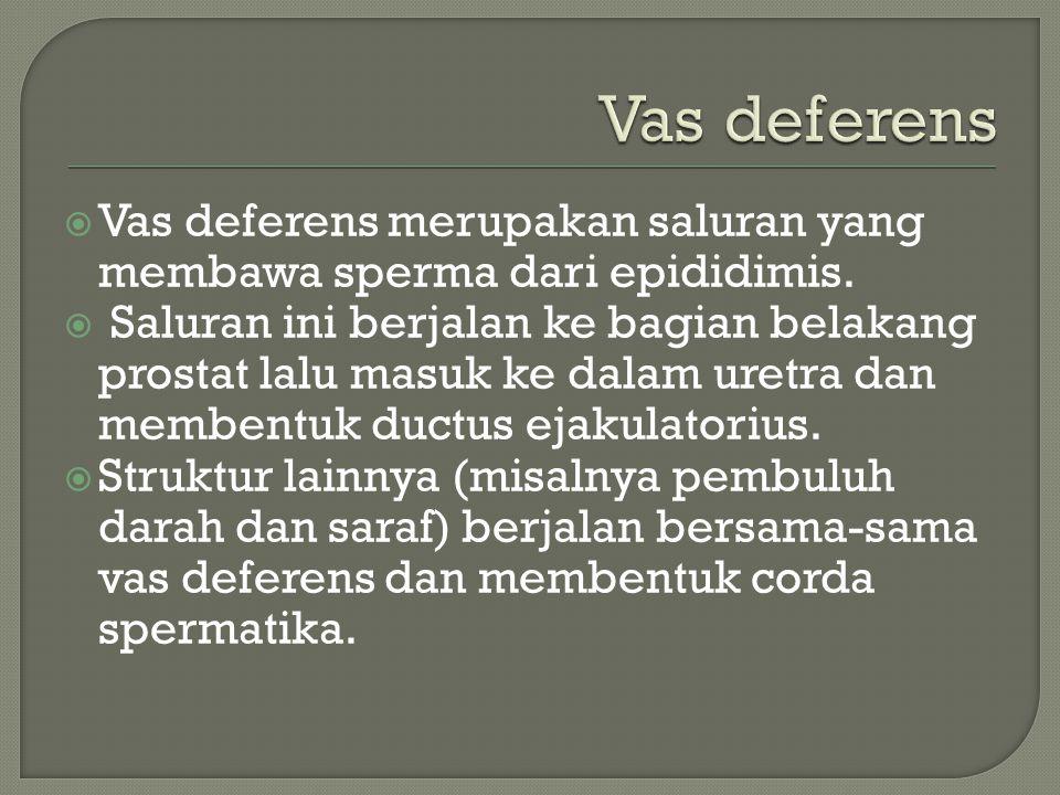 Vas deferens Vas deferens merupakan saluran yang membawa sperma dari epididimis.