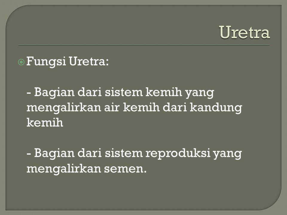 Uretra Fungsi Uretra: - Bagian dari sistem kemih yang mengalirkan air kemih dari kandung kemih.