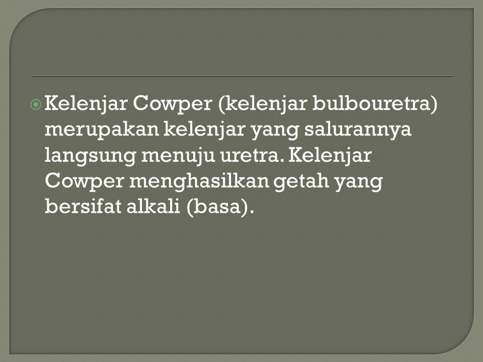Kelenjar Cowper (kelenjar bulbouretra) merupakan kelenjar yang salurannya langsung menuju uretra.