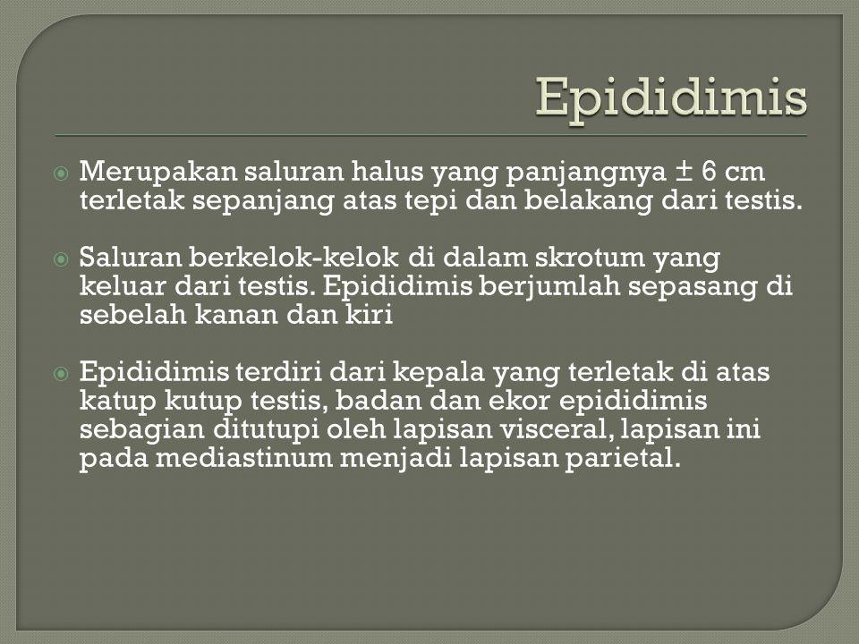 Epididimis Merupakan saluran halus yang panjangnya ± 6 cm terletak sepanjang atas tepi dan belakang dari testis.