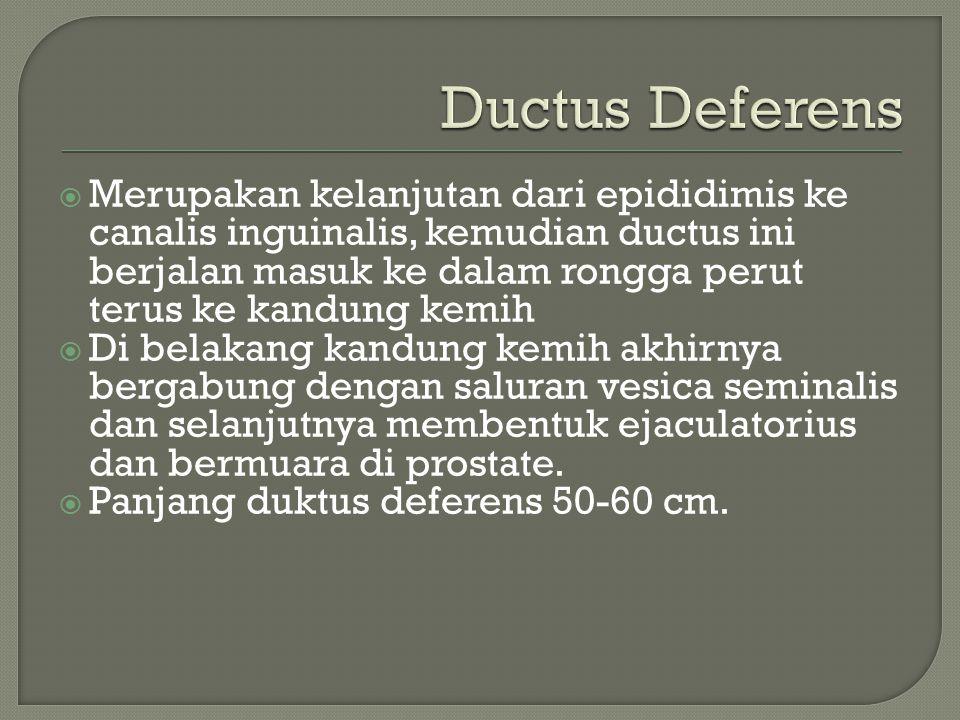 Ductus Deferens