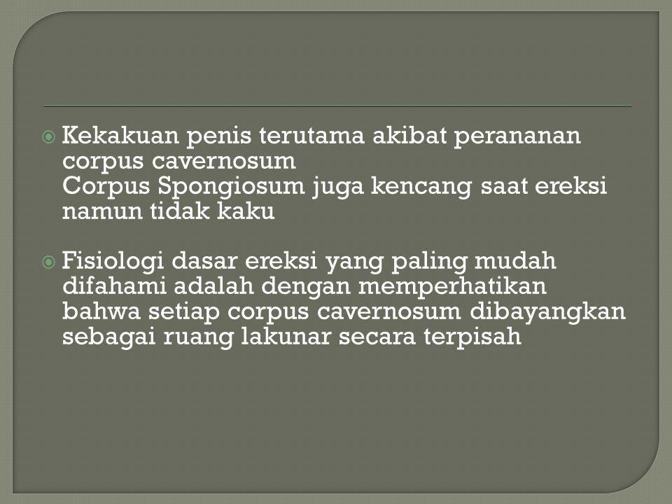 Kekakuan penis terutama akibat perananan corpus cavernosum Corpus Spongiosum juga kencang saat ereksi namun tidak kaku