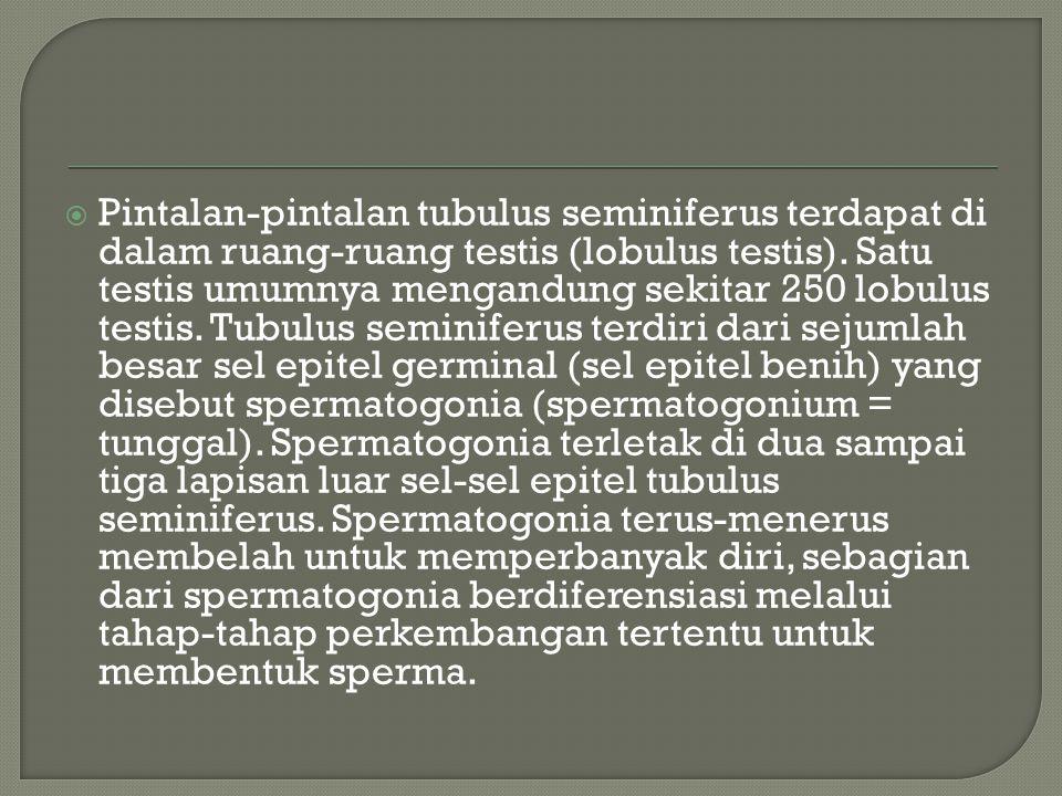 Pintalan-pintalan tubulus seminiferus terdapat di dalam ruang-ruang testis (lobulus testis).