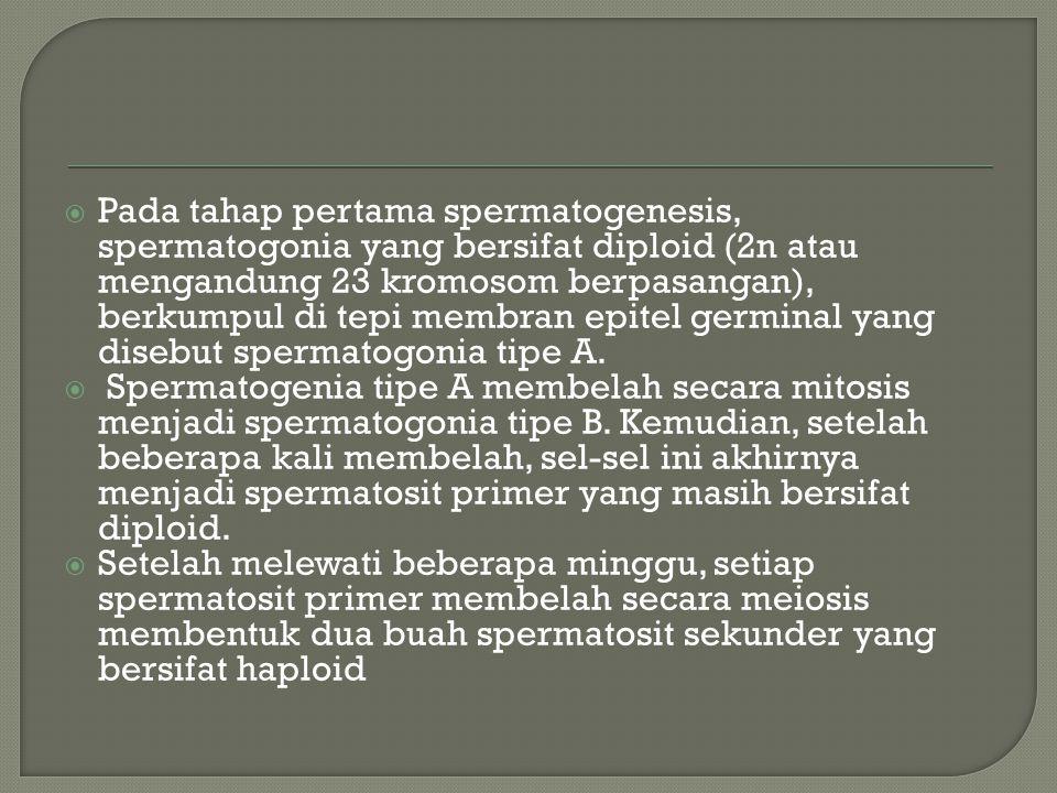 Pada tahap pertama spermatogenesis, spermatogonia yang bersifat diploid (2n atau mengandung 23 kromosom berpasangan), berkumpul di tepi membran epitel germinal yang disebut spermatogonia tipe A.