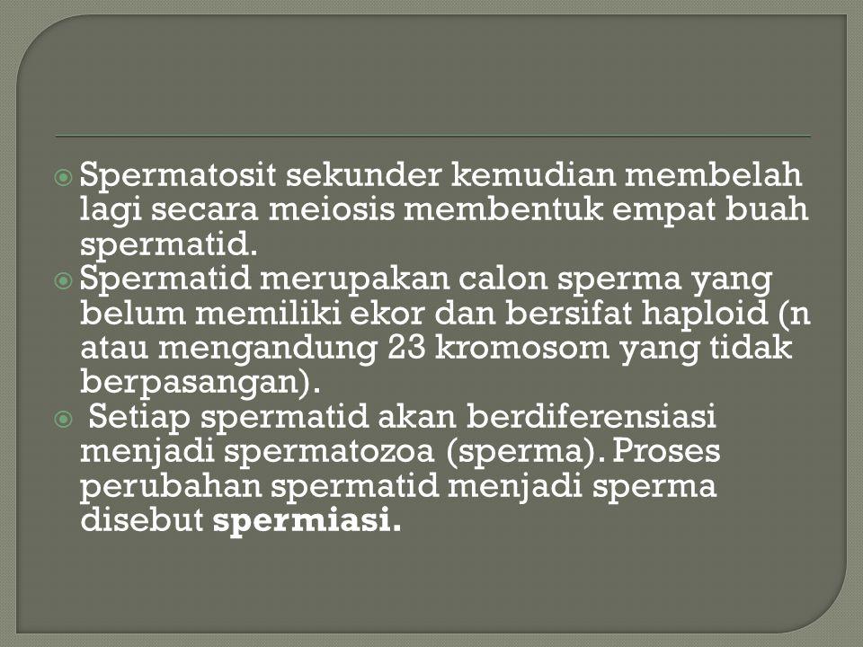 Spermatosit sekunder kemudian membelah lagi secara meiosis membentuk empat buah spermatid.