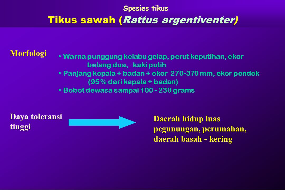 Tikus sawah (Rattus argentiventer)