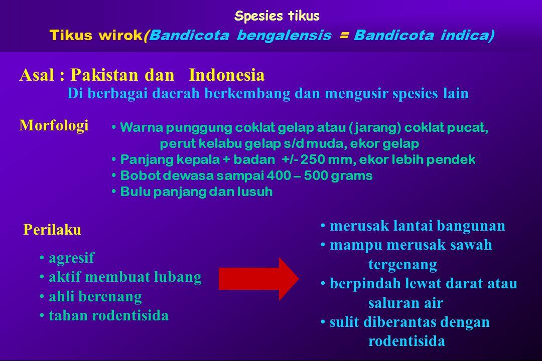 Tikus wirok(Bandicota bengalensis = Bandicota indica)