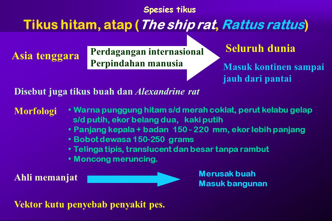 Tikus hitam, atap (The ship rat, Rattus rattus)