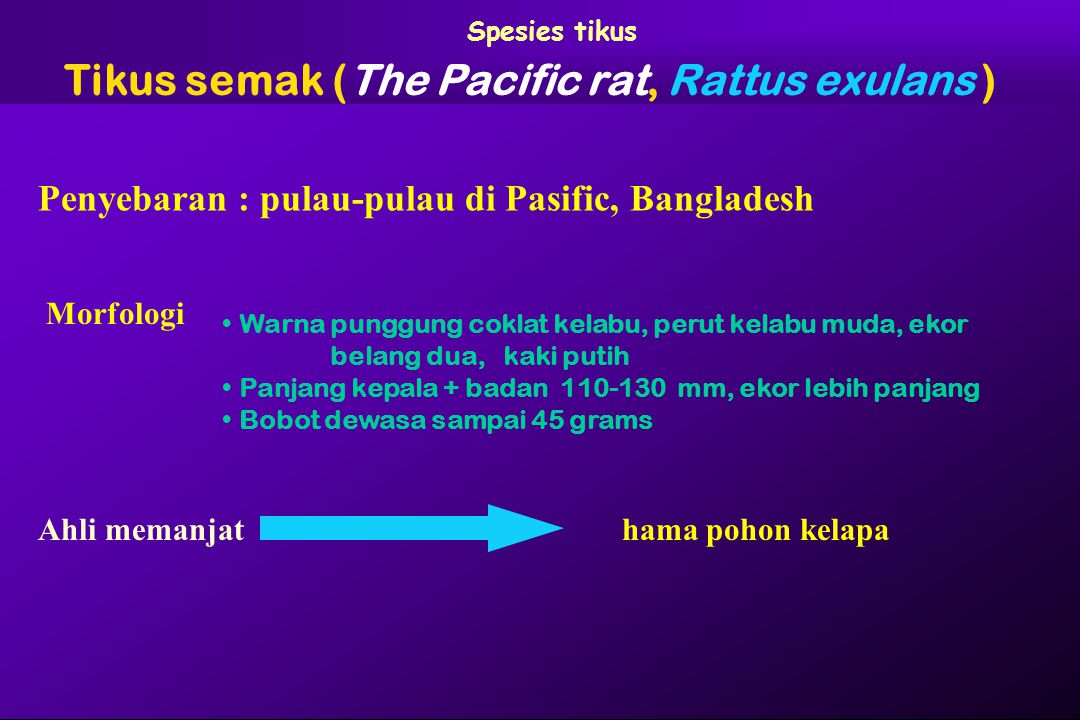 Tikus semak (The Pacific rat, Rattus exulans )