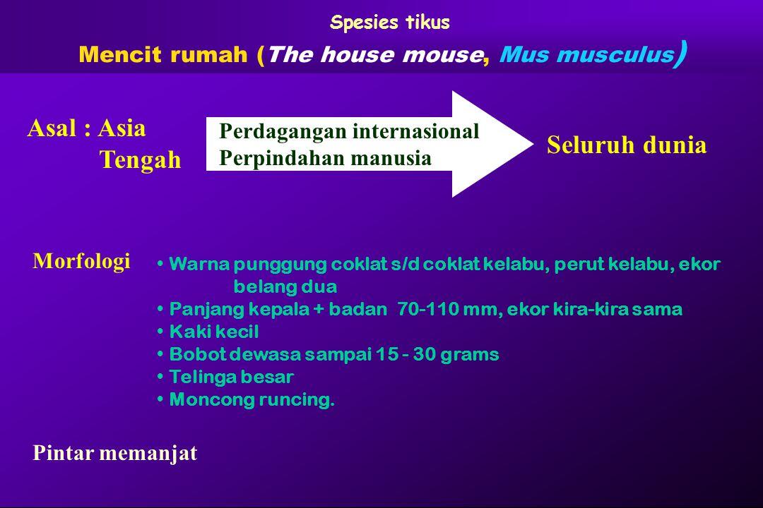 Mencit rumah (The house mouse, Mus musculus)