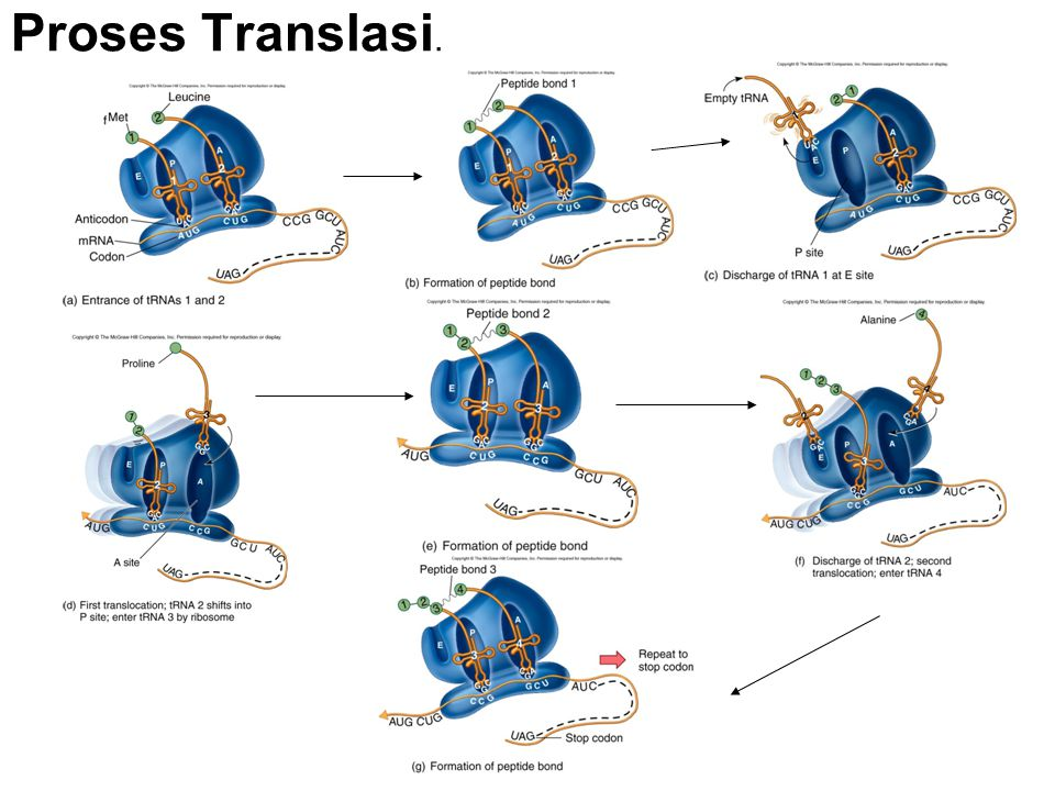 Proses Translasi.