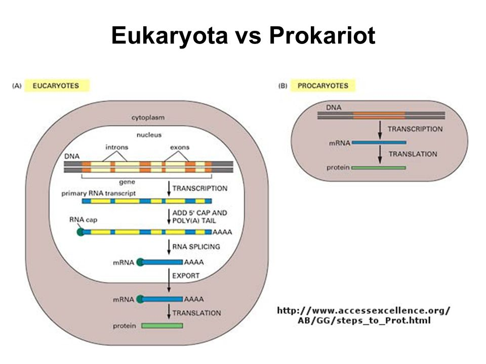 Eukaryota vs Prokariot