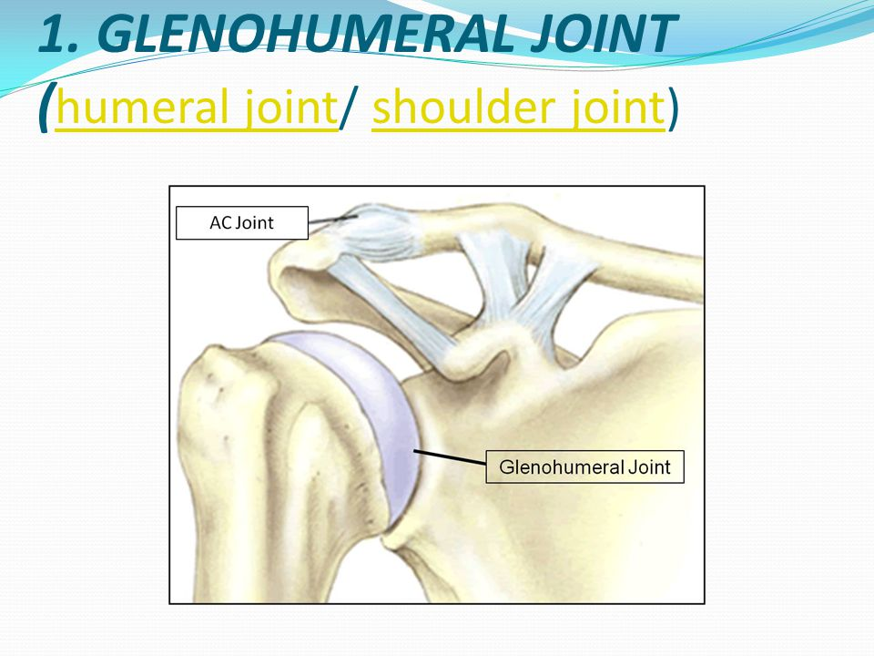 1. GLENOHUMERAL JOINT (humeral joint/ shoulder joint)