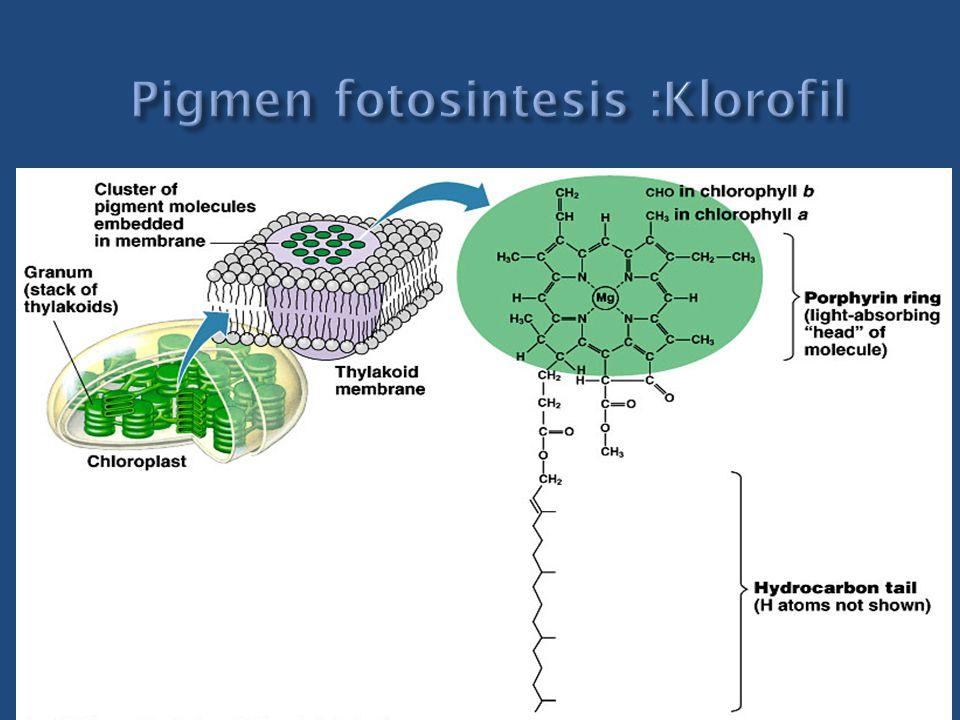 Pigmen fotosintesis :Klorofil