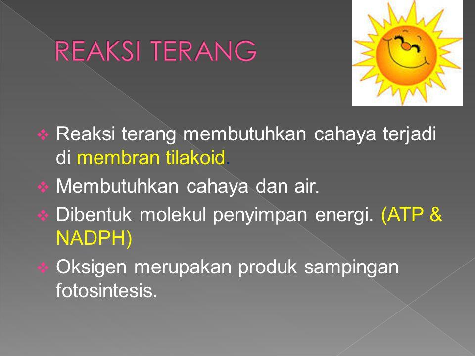REAKSI TERANG Reaksi terang membutuhkan cahaya terjadi di membran tilakoid. Membutuhkan cahaya dan air.