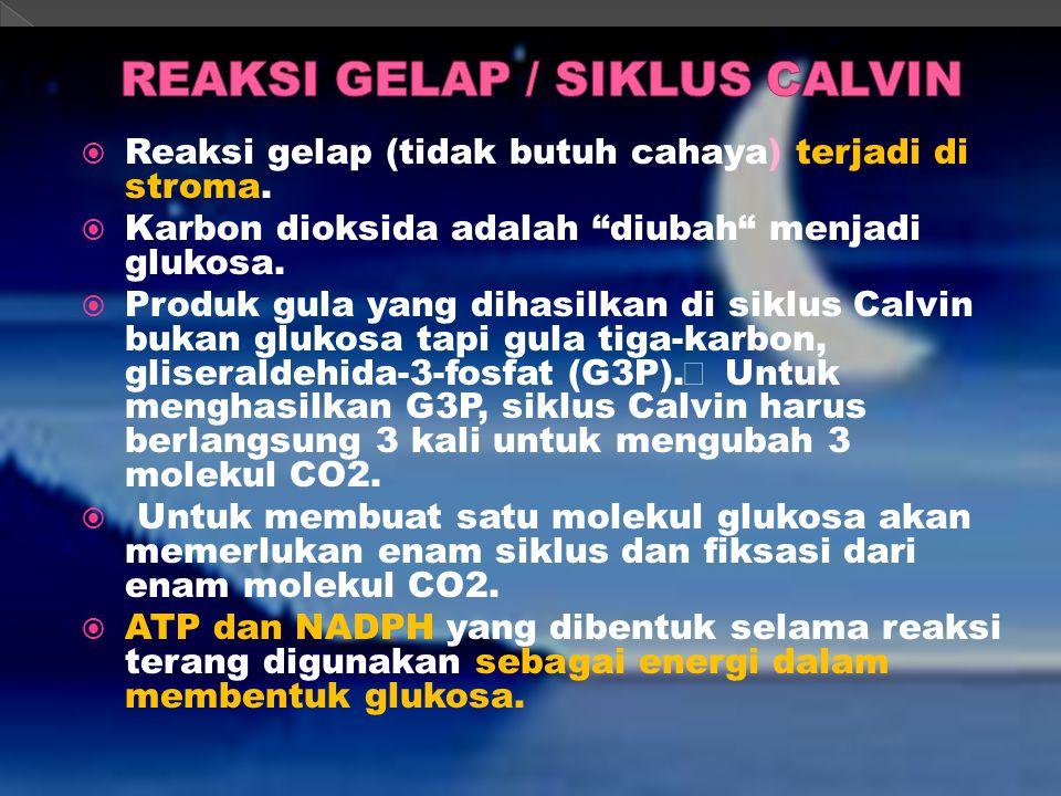 REAKSI GELAP / SIKLUS CALVIN